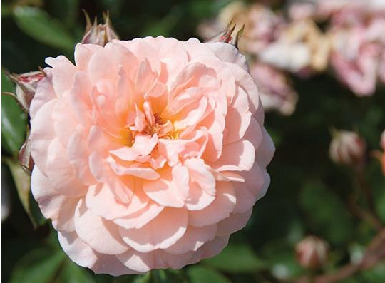 Picture of Apricot Drift&reg rose